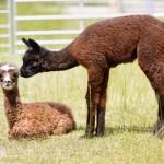 Alpaka Babys Gabriel und Baruba Bay