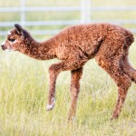 Alpaka Baby Gabriel