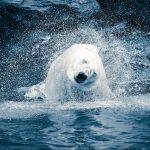 Eisbär schüttelt sich im Tierpark Berlin