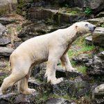 Eisbär im Tierpark Berlin