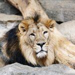 Löwe im Tierpark Berlin