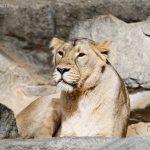 Löwin im Tierpark Berlin